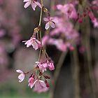 Cherry Blossom by Soulmaytz