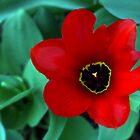 Tulip by Soulmaytz