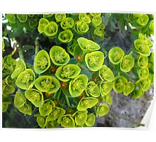 Euphoric Euphorbia Poster