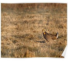 Last Prairie Chicken on the Booming Grounds  Poster
