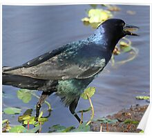 Boat tailed grackle with a small catch! Poster