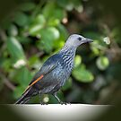 Red Winged Starling by Warren. A. Williams