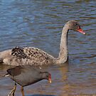 Cygnet. by shortshooter-Al