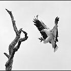 Sea Eagle 42 by John Van-Den-Broeke