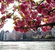 Manhattan Through the Cherry Blossoms. Springtime color photo. by W. Lotus
