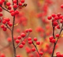 Winterberry Holly - Ilex verticillata Sticker