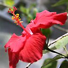 Hibiscus by Jay Reed