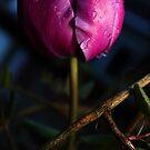 tulip by imagegrabber