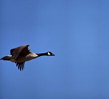 Canada Goose In Flight by Richard Lee