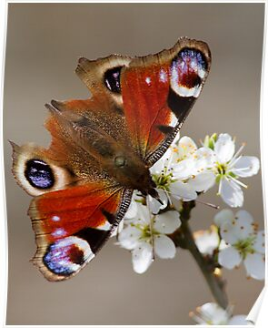 Spring Peacock Butterfly by Neil Bygrave (NATURELENS)