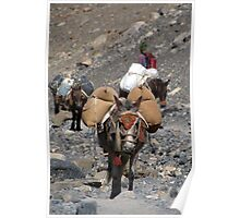 Mules Climbing Thorung La Poster