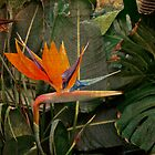 Bird of Paradise Flower - Crane Lily - Strelitzia reginae by MotherNature