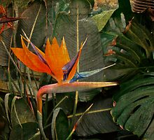 Bird of Paradise Flower - Crane Lily - Strelitzia reginae by MotherNature