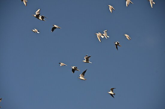 Black Headed Gulls by dougie1page3