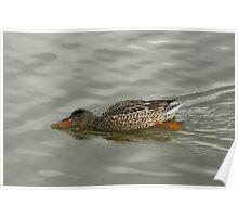Northern Shoveler Duck Hen  Poster