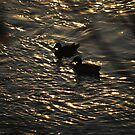 Evening Dip by Sandra Fortier