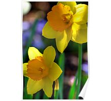 Daffodils in Denver Poster