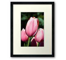 Pink Tulips with Whtie and Salmon Accents Framed Print