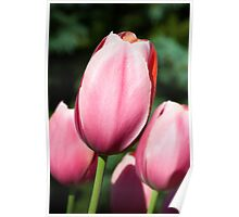 Pink Tulips with Whtie and Salmon Accents Poster