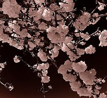 cherry blossoms by jackson photografix