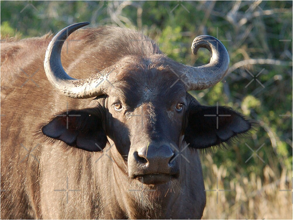 NOBODY IS PERFECT ! The Buffalo - Syncerus caffer (Buffel0 by Magriet Meintjes