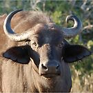 NOBODY IS PERFECT ! The Buffalo - Syncerus caffer (Buffel0 by Magaret Meintjes