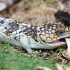 Bob Tailed Lizard by mncphotography