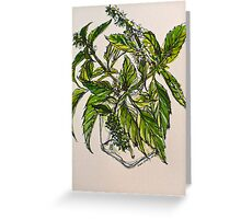 Basil. A pungent and delicious herb. Pen & wash. 21cmx28cm 2012Ⓒ Greeting Card