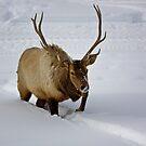 Elk at Yellowsone by Sue  Thomson