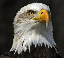 Bald Eagle Gazing by David Alexander Elder