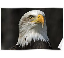 Bald Eagle Gazing Poster