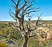 Tree in Navajo national monument by Sue Knowles