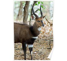 YEAH, I KNOW I AM GORGEOUS! THE BUSHBUCK MALE - Tragelaphus scriptus - Bosbok Poster