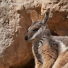 Yellow-footed Rock Wallaby II by SusanAdey