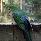 Australian King Parrot, Female by SophiaDeLuna