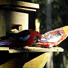Crimson Rosellas by SophiaDeLuna