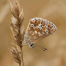 Brown Argus butterfly by Stacey  Purkiss