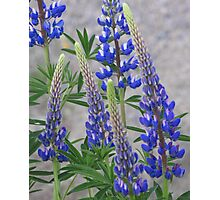 Shimmering Lupin Light Nr 2 Photographic Print