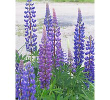 Shimmering Lupin Light Nr 4 Photographic Print