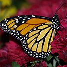 Monarch Butterfly on Red Mums by Molly  Kinsey