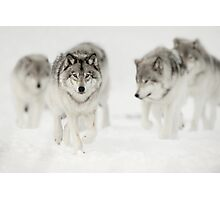 Timber Wolf Pack Photographic Print