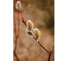 Goat Willow Photographic Print