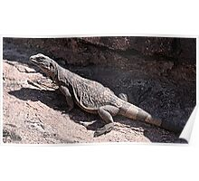"""This is really my Best Side"" - Las Vegas Chuckwalla Lizard Poster"