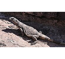 """This is really my Best Side"" - Las Vegas Chuckwalla Lizard Photographic Print"