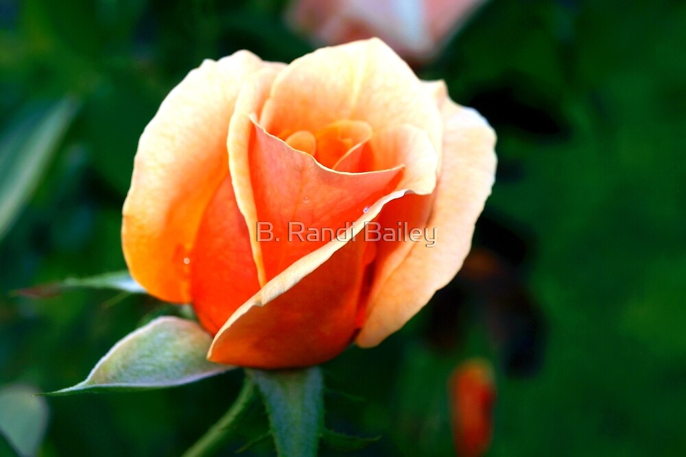 Peach rosebud by ♥⊱ B. Randi Bailey