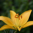 A Yellow Lily by Martina Fagan