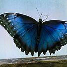 Common Blue Morpho~ for Viv by cherylc1