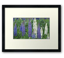Shimmering Lupin Light Nr 7 Framed Print