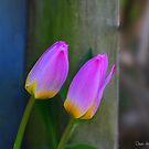 Tulips and a post..... by DaveHrusecky