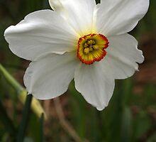 Daffodil (2) by redown